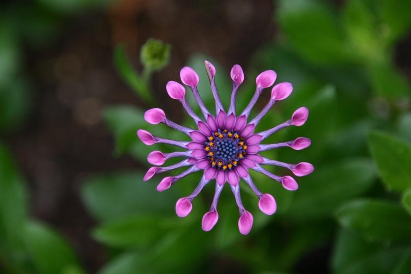 flower-soprano-lilac-spoon-red-cactus-flower-osteospermum-38288