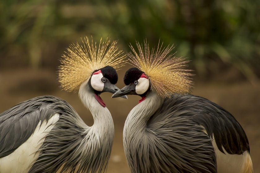 grey-crowned-crane-bird-crane-animal-45853