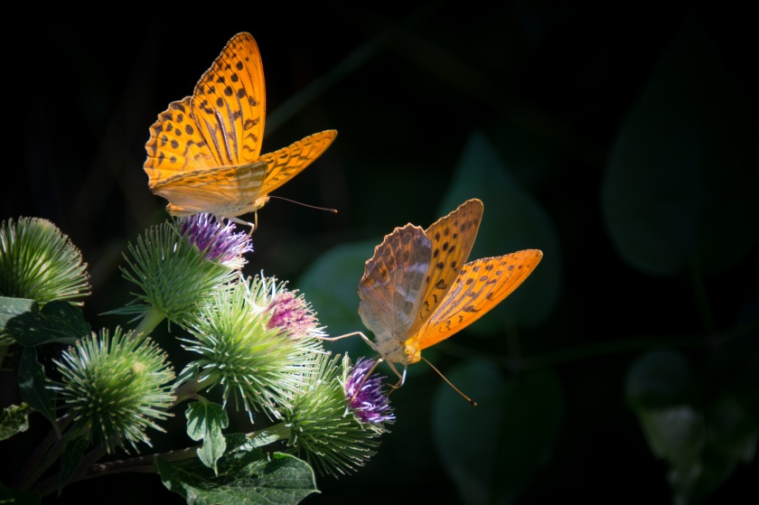 silver-bordered-fritillary-butterfly-nature-orange